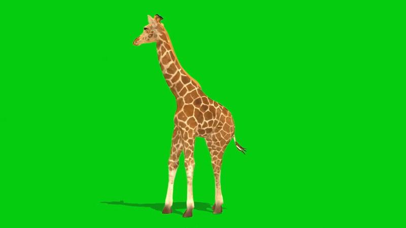 绿幕视频素材长颈鹿