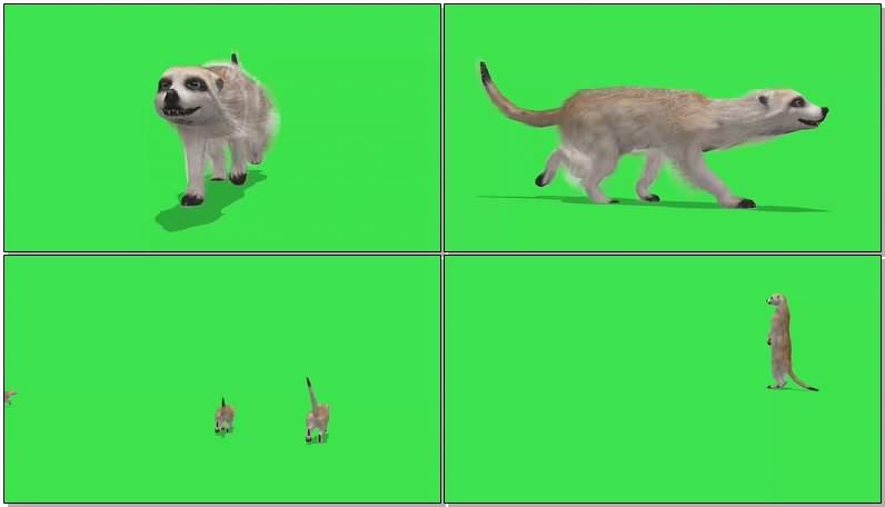 绿幕视频素材狐獴