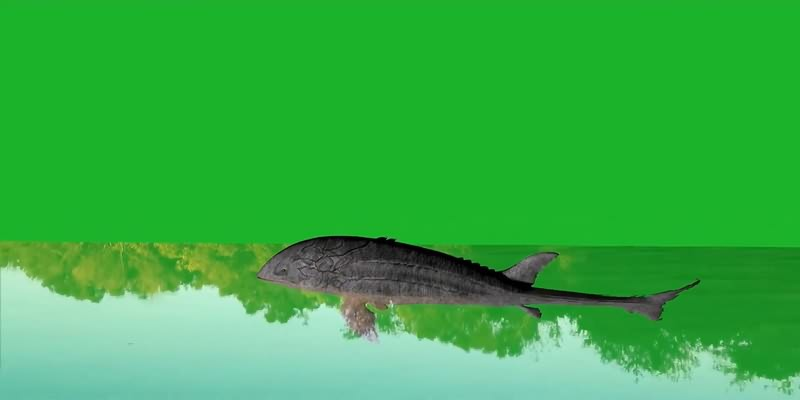 绿幕视频素材鲶鱼