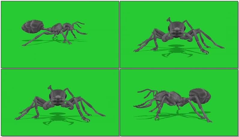 绿幕视频素材蚂蚁