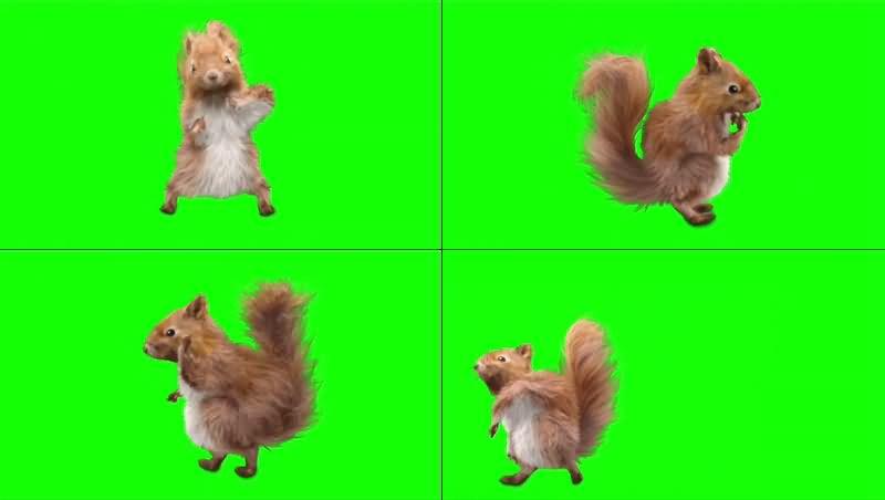 绿幕视频素材松鼠