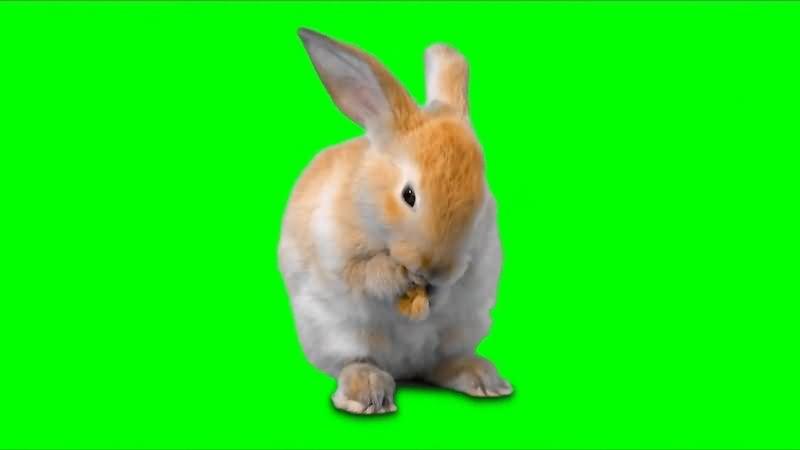 绿幕视频素材兔子