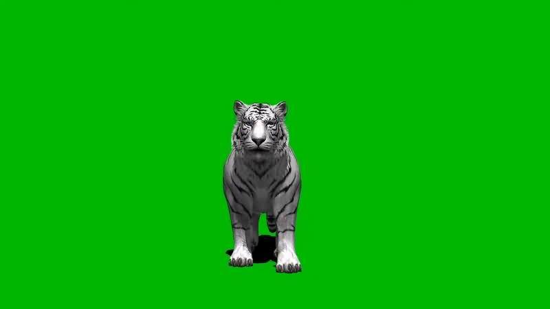 绿幕视频素材白虎.jpg