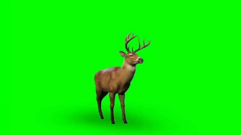 绿幕视频素材雄鹿