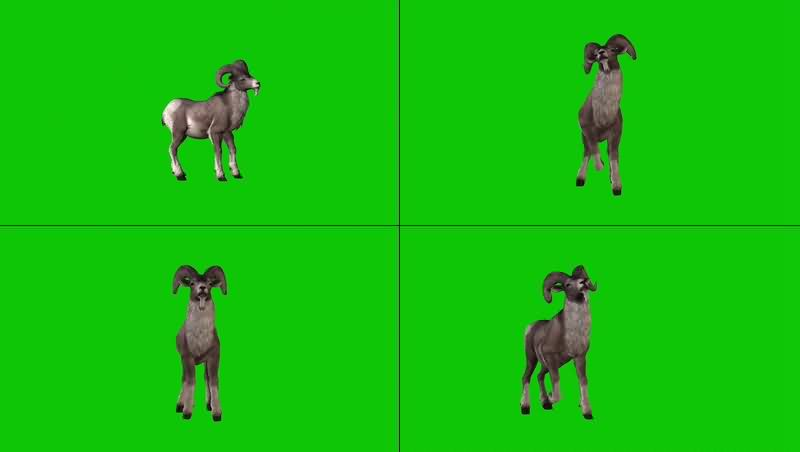 绿幕视频素材山羊