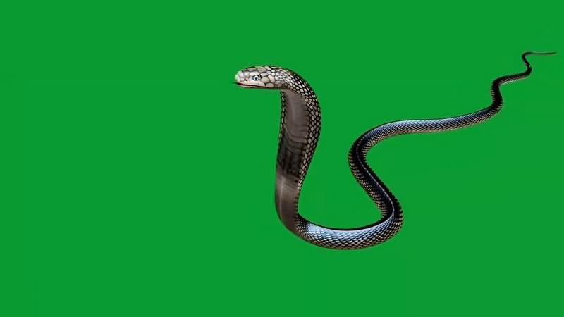 绿幕视频素材毒蛇