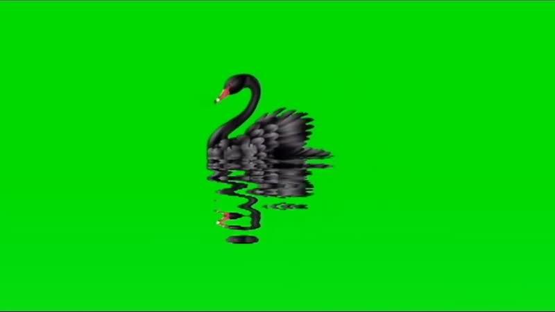 绿幕视频素材黑天鹅
