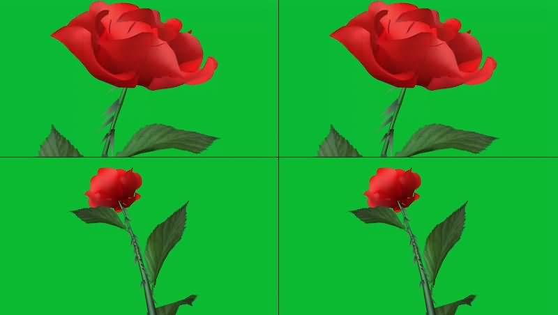 绿幕视频素材玫瑰花