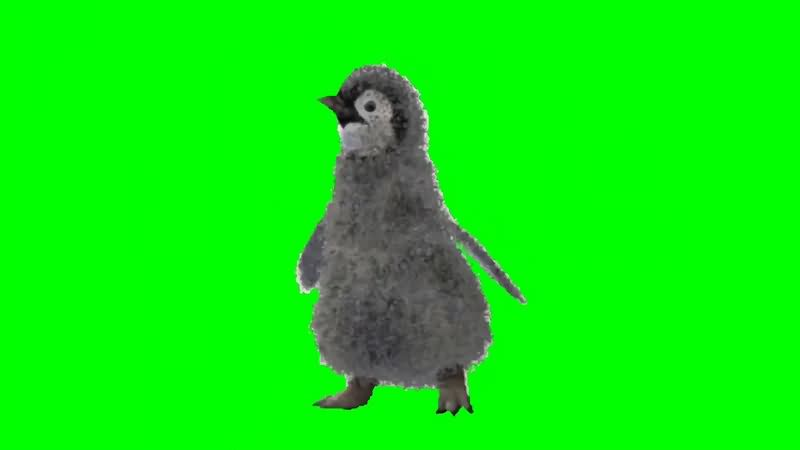 绿幕视频素材小企鹅