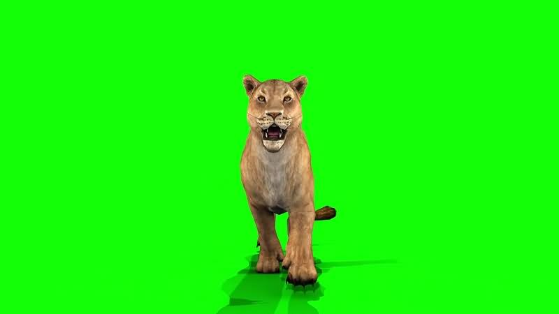绿幕视频素材狮子
