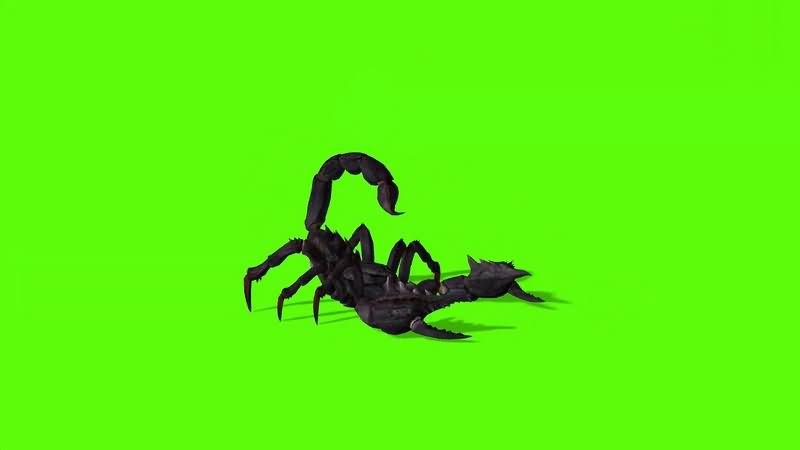 绿幕视频素材蝎子