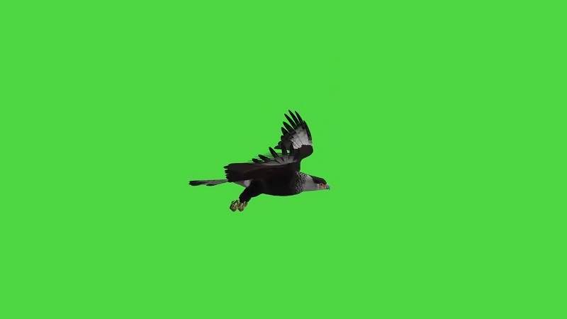 绿幕视频素材老鹰