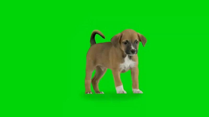 绿幕视频素材小狗
