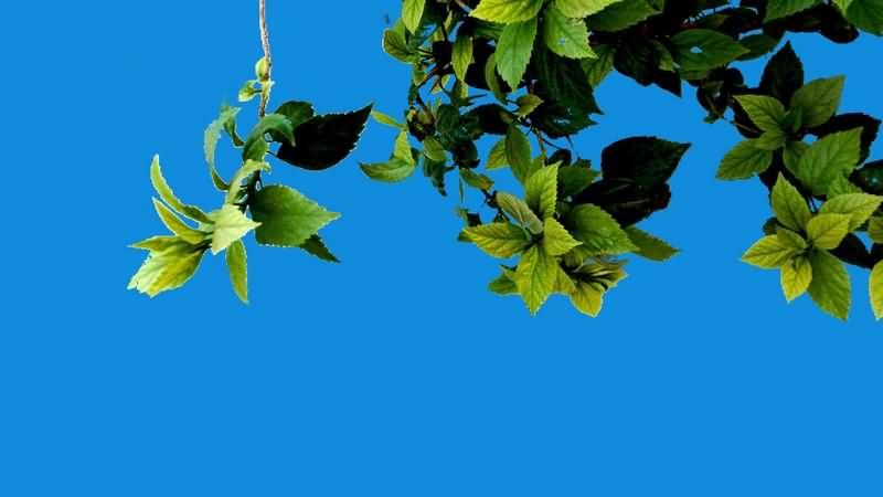 绿幕视频素材树叶