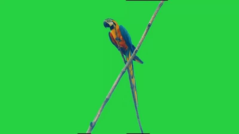 绿幕视频素材鹦鹉