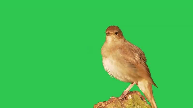 绿幕视频素材小鸟