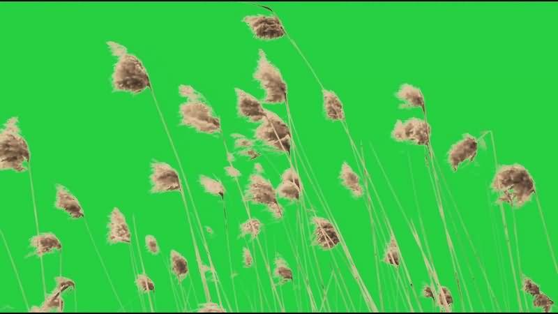 绿幕视频素材野草