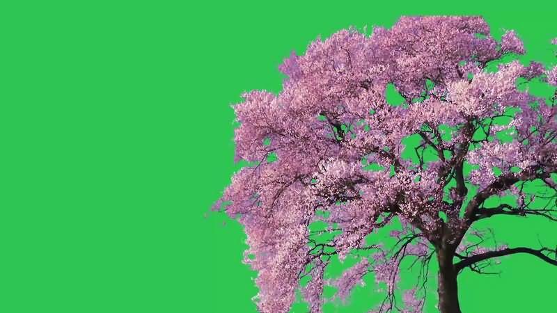 绿幕视频素材樱花