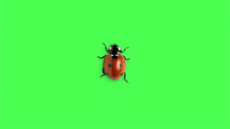 绿幕视频素材瓢虫