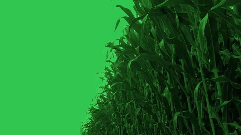 绿幕视频素材玉米田