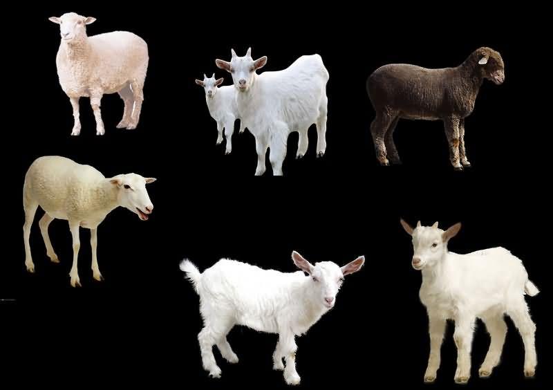 白羊免抠分层PSD素材