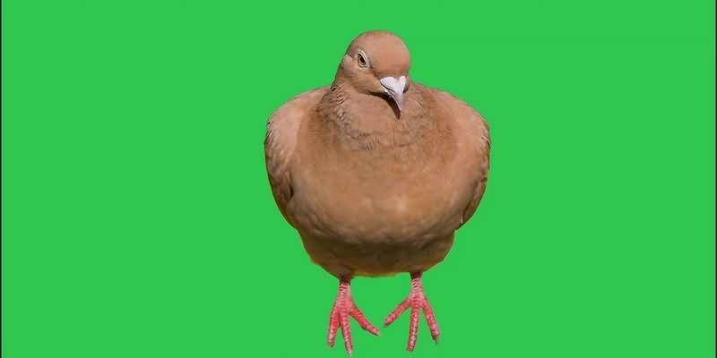绿幕视频素材鸽子