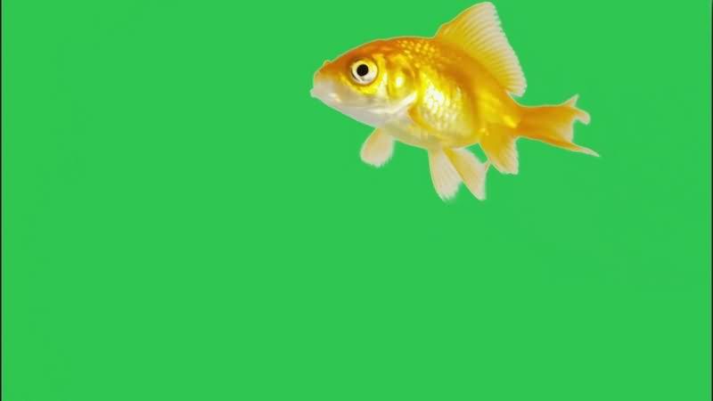 绿幕视频素材金鱼