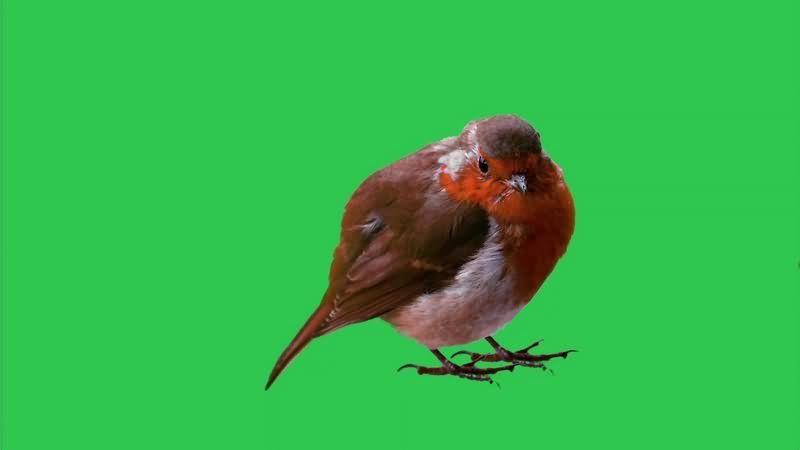 绿幕视频素材罗宾鸟