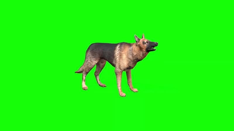 绿幕视频素材牧羊犬