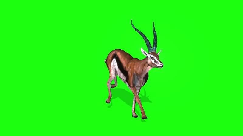 绿幕视频素材羚羊