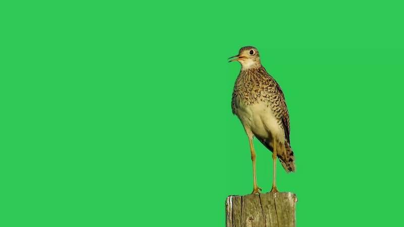 绿幕视频素材山雀