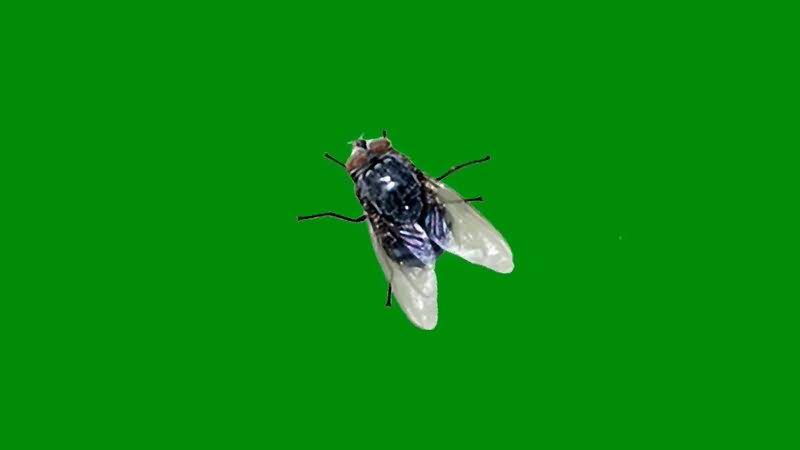 绿屏抠像苍蝇视频素材