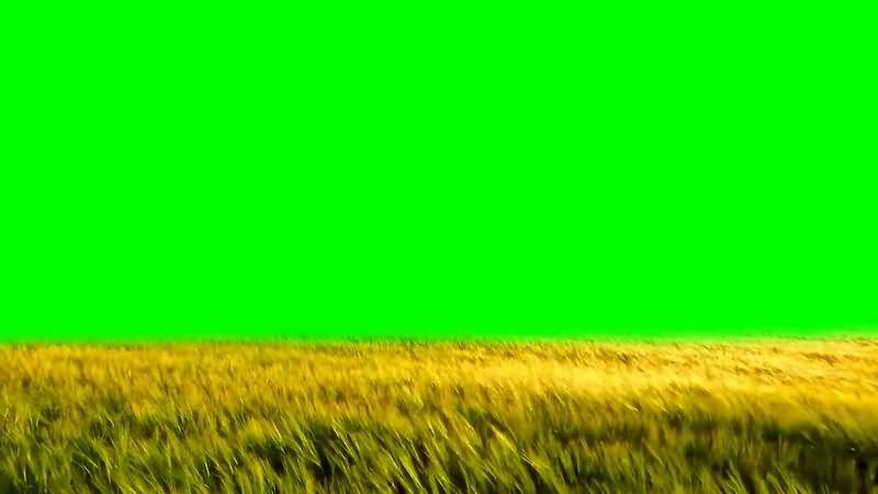 绿幕视频素材麦田