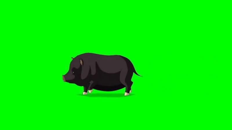 绿幕视频素材黑猪.jpg