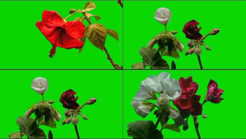 绿幕视频素材鲜花.jpg