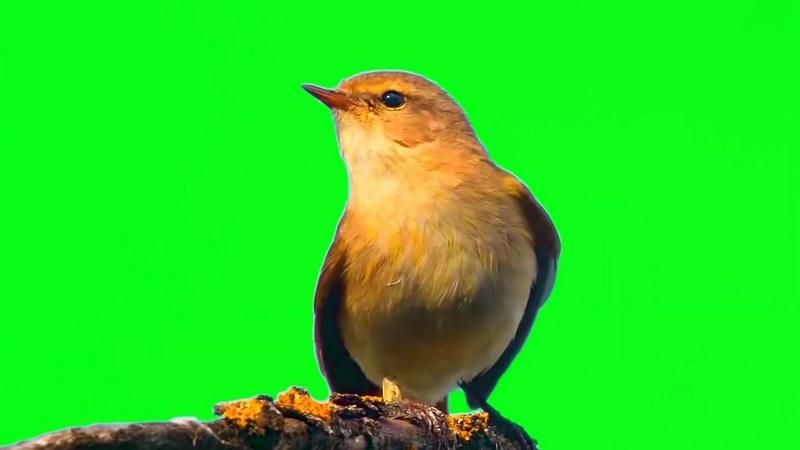 绿幕视频素材小鸟.jpg