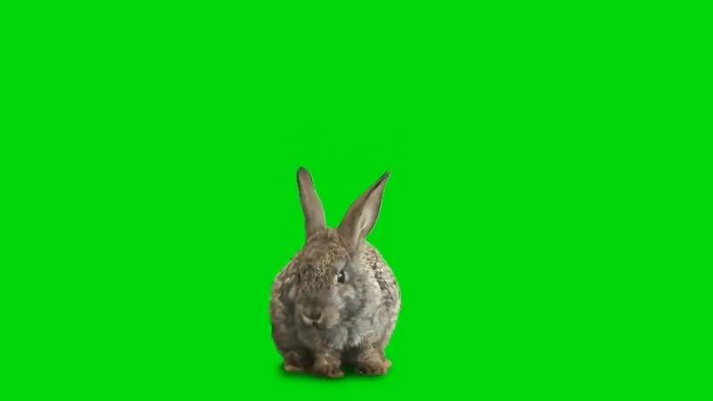 绿幕视频素材野兔