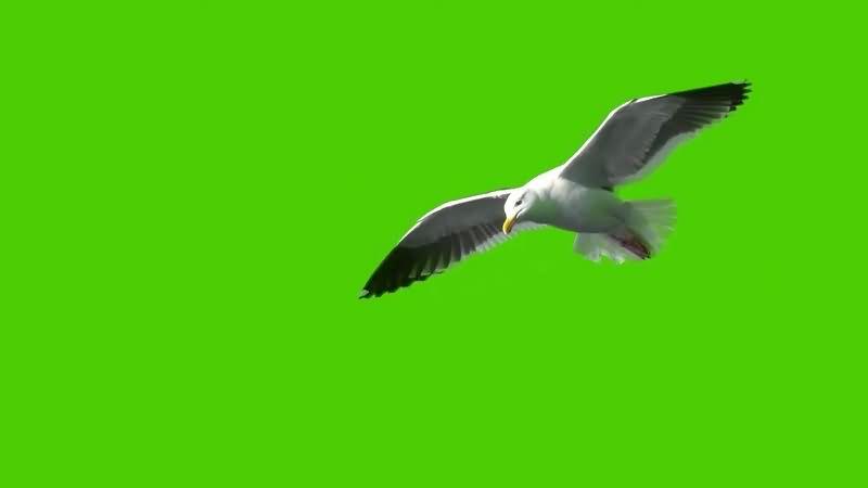绿幕视频素材海鸥.jpg